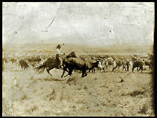 "1907 photo, Erwin Smith, Cowboy, roping, cows, size-14""x11"" antique America WEST"