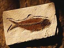 Fotografia Archeology pesce fossile pietra antica art print poster cc1517