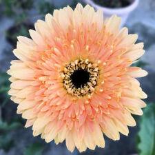 Light Orange African Gerbera Jamesonii Transvaal Daisy Seeds Gardening Flowers