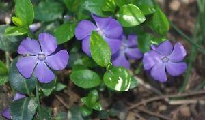 40+ Vinca Orchid Periwinkle Flower Seeds / Long Lasting Annual