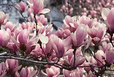 1X 4-5FT LARGE MAGNOLIA BETTY PLANT TREE 3L BEAUTIFUL FLOWERS