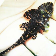 """Columbian spotted pleco (L165) 3"""" guaranteed from side to side."""