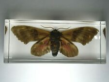 BIG POPLAR SPHINX.  PACHYSPHINX OCCIDENTALIS. Real night moth embedded in resin