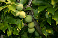 Old English Greengage Plum Tree 4-5ft.Self-Fertile With Sweet Honey Flavour Gage