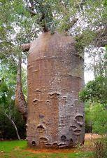 Adansonia digitata, Baobab, Dead-Rat Tree, Monkey-Bread Tree, 5 seeds