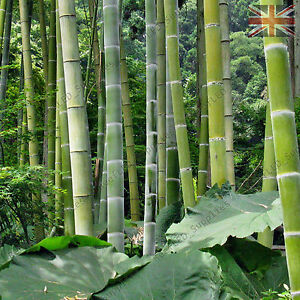 RARE Giant Moso Bamboo, Pubescens Phyllostachys edulis - Viable Seeds -UK SELLER