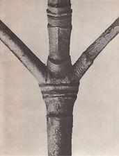 Karl Blossfeldt - Wunder In Der Natur 1942 Gravure - Cornus Nuttallii #103