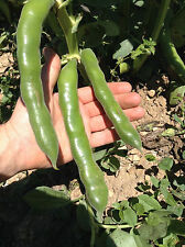 GIANT XXL FAVA BEAN 5 Seeds Vicia Faba - 12 Inch Long Pods - Variety from Malta