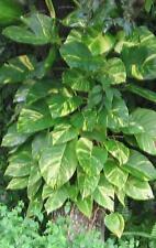 Golden Pothos Devils Ivy Scindapsus Aureus Epipremnum