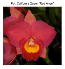 Pot Rubescence 'Svo' Amaos X Slc California Girl 'Red Angel' Sm/Joga (12) 6353
