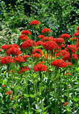 maltese cross, LYCHNIS CHALCEDONICA, red flower, 1600 seeds! GroCo US USA