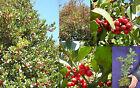 ILEX AQUIFOLIUM Agrifoglio pianta plant bonsai prebonsai vq 9x9x20cm