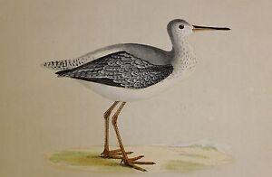 c1875 ANTIQUE PRINT ~ SPOTTED REDSHANK HAND COLOURED British Birds Morris