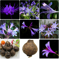Hot 2Pcs Purple Amaryllis Bulbs Beauty Bonsai Flower Plant Seeds Gardening Plant