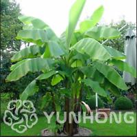 Banana Bonsai Fruit Big Hainan Musa Velutina Plants Potted NEW G F 100 Pcs Seeds