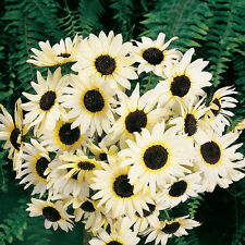 Sunflower Seeds 300 Italian White Seeds Flower Seeds Bulk Flower Seeds