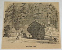 1859 magazine engraving ~ THE BIG TREE
