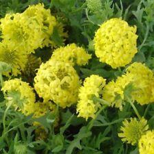 Gaillardia-Pulchella- Sundance Yellow- 25 seeds - Bogo 50% off Sale