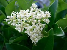 Ligustrum japonicum Japanese Privet - Evergreen Shrub Hardy 1 Plant!
