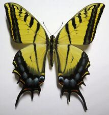 Papilio multicaudata grandiosus male  *Mexico*
