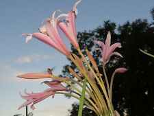 Crinum Lily, eboraci, Twelve Apostles, jumbo, blooming-size bulb, NEW, RARE