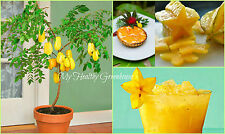 "SEEDS - Dwarf Star Fruit ""Maher Dwarf"" Carambola (Averrhoa carambola) Easy Grow!"