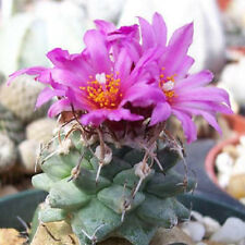 Turbinicarpus alonsoi flowering cacti rare flower collector cactus seed 20 SEEDS
