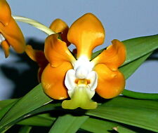 VANDA denninsoniana NARANJA híbrido NUEVO Fragancia Orquídea Orquídeas