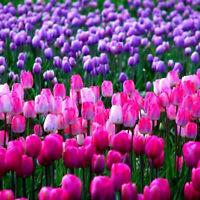 100Pcs Tulip Seeds Garden Outdoor Potted Bonsai Perfume Flower Perennial Plants