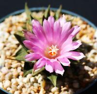 Ariocarpus trigonus exotic cactus flower color aztekium rare cacti seed 50 SEEDS