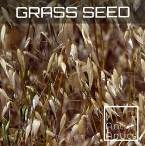 Grass Seed - Ant Antics - Harvester Ant Seed - 100mm