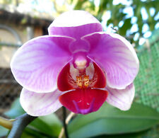 Phalaenopsis Phal. Pink Heart In Bloom Orchid Plant