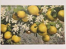 Postcard Grapefruit and Blossoms in Florida Groves Citrus Grape Fruit A2