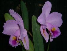 New listing Orchids Species Cattleya labiata 'Butterfly'—Peloric !