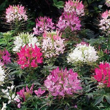 250 MIXED COLORS QUEEN CLEOME SPIDER FLOWER Seeds +Gift
