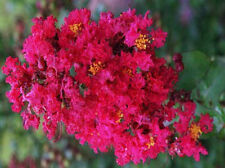 Dallas Red Crape Myrtle - 3 Pack - Lagerstroemia - Great Fall Special