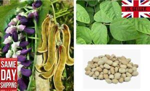 Cowitch / Velvet Bean Mucuna Pruriens 5 Fresh Seeds UK Seller Same Day Dispatch