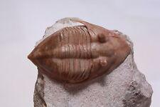 Russian trilobite Megistaspidella triangularis (SCHMIDT 1906) fossil Russia