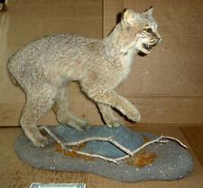 "New listing Vintage Bobcat Taxidermy,Full Mount,Log Cabin Decor,Life Size,A.25"" x 20"" x 11"""