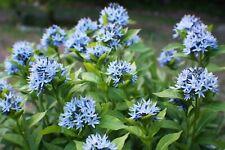 """Plant~Blue Star Amsonia t. """"Grande""""~Gallon"""