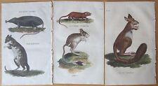 Natural History: 3 Colored Prints Cape Jerboa Shrew Rat Kangaroo - 1811