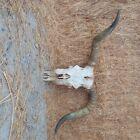 Large crooked horn longhorn skull bleached mount