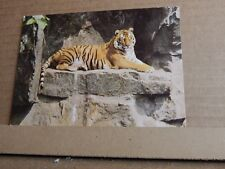 Postcard Tiger At the  Zoo  unposted modern Card