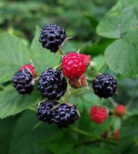 1 Wild Black Raspberry Live Bare root plant -Fruit, Jelly, Wine! Bush/shrub