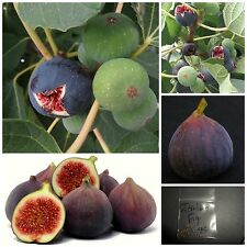 Italian Everbearing Fig Tree ~25 Top Quality Seeds - Extra Sweet Variety!
