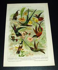 Prachtfische der südlichen Meere Chromolithographie 1898 alte historische Grafik