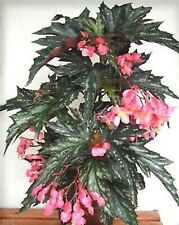 RARE 🌸BEGONIA 🌼 SOPHIE CECILE 🌸  YOUNG 🌼 PLANT 🌸 CANE BEGONIA
