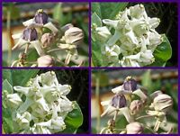 50 mix Seeds Purple and White Crown Flower Giant Indian Milkweed