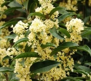 Fudingzhu Fragrant Tea Olive ( osmanthus ) - Live Plant - Trade Gallon Pot