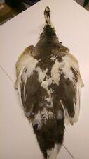 Pied Peacock Skin
